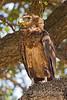 Juvenile, Bateleur, Terathopius ecaudatus,Masai Mara National Reserve, Kenya, Africa, Falconiformes Order, Accipitridae family