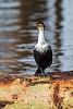Great Cormorant, Phalacrocorax carbo lucidus, Lake Nakuru National Park, Kenya, Africa