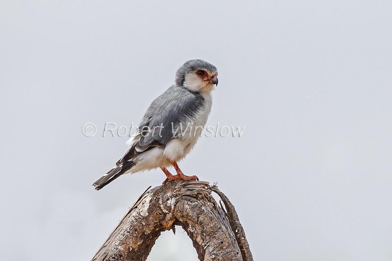 Pygmy Falcon, Polihierax semitorquatus, Samburu National Reserve, Kenya, Africa