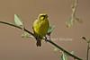 Yellow-fronted Canary, Crithagra mozambica, Masai Mara National Reserve, Kenya, Africa