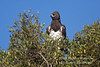 Eagle, Martial Eagle, Polemaetus bellicosus, Masai Mara National Reserve, Kenya, Africa, Accipitriformes Order, Accipitridae Family