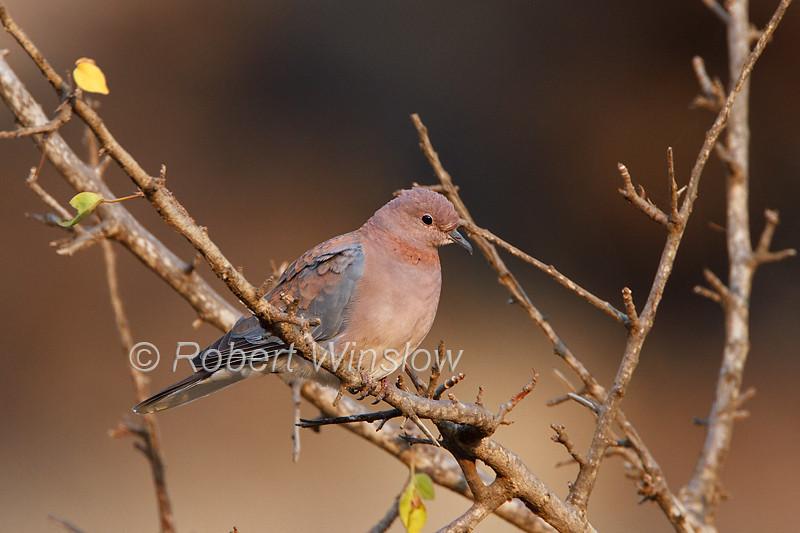 Laughing Dove, Spilopelia senegalensis, Tsavo West National Park, Kenya, Africa