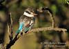 Kingfisher, Striped Kingfisher, Halcyon c. chelicuti, Masai Mara National Reserve, Kenya, Africa, Coraciiformes Order, Alcedinidae Family