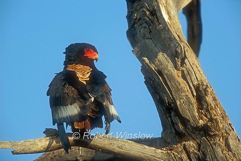 Bateleur, Terathopius ecaudatus, Samburu National Reserve, Kenya, Africa