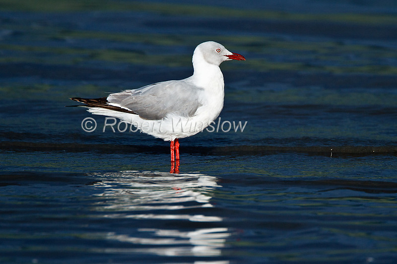 Grey-headed Gull, Larus cirrocephalus, Lake Nakuru National Park, Kenya, Africa