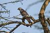 African Cuckoo-Hawk, Aviceda cuculoides, Lake Nakuru National Park, Kenya, Africa