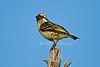 Red-fronted Barbet, Tricholaema diademata, Lake Baringo, Kenya, Africa