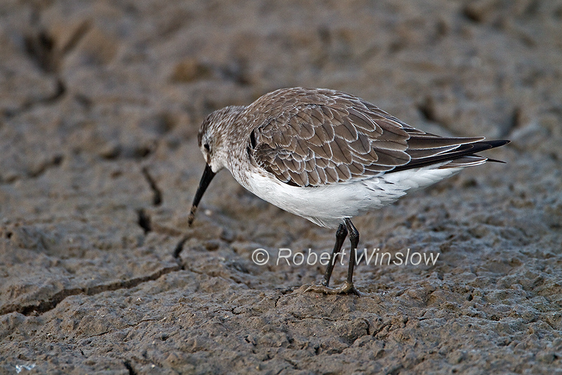 Curlew Sandpiper, Calidris ferruginea, non-breeding plumage, Amboseli National Park, Kenya, Africa, near threatened