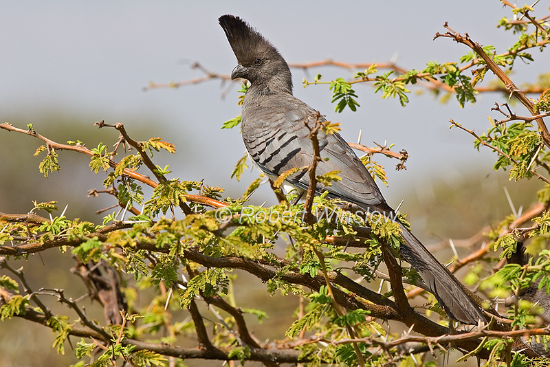 White-bellied Go-away-bird, Corythaixoides leucogaster, Lewa Wildlife Conservancy, Kenya, Africa, Musophagidae Family, Turacos