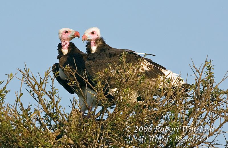Vulture, White-headed Vulture, Trigonoceps occipitalis, Masai Mara National Reserve, Kenya, Africa, Accipitriformes Order, Accipitridae Family