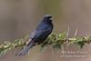 Fork-tailed or Common Drongo, Dicrurus adsimilis, Ol Pejeta Conservancy, Kenya, Africa,  Passeriformes Order, family Dicruridae,