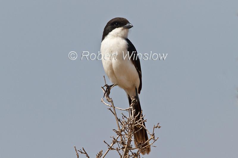 Long-tailed Fiscal, Lanius cabanisi, Amboseli National Park, Kenya, Africa