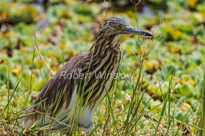 Madagascar Squacco  Heron, also known as  Malagasy Pond Heron or  Madagascar Pond Heron, Ardeola idae, Masai Mara National Reserve, Kenya, Africa
