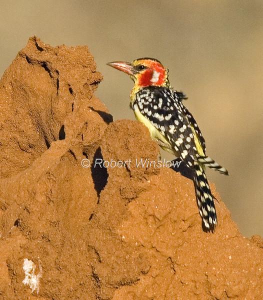 Red and Yellow Barbet, Trachyphonus erythrocephalus, on a Termite Mound, Samburu National Reserve, Kenya, Africa, Piciformes Order, Capitonidae Family