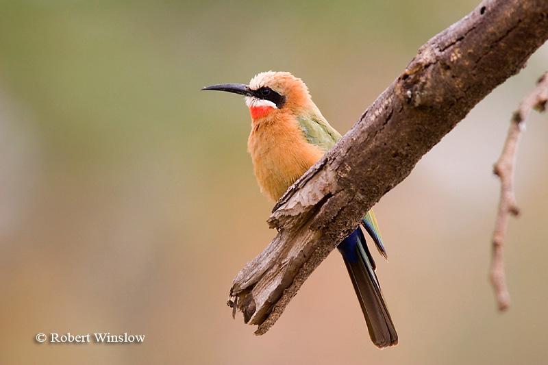 Bee-eater, White-fronted Bee-eater (Merops b. bullockoides), Lake Nakuru National Park, Kenya, Africa, Coraciiformes Order, Meropidae Family