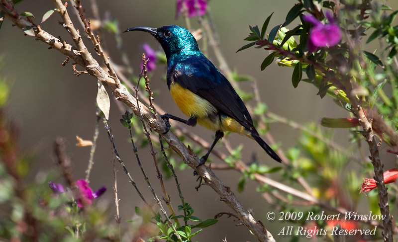 Variable Sunbird, Cinnyris venusta, rift Valley, Kenya, Africa