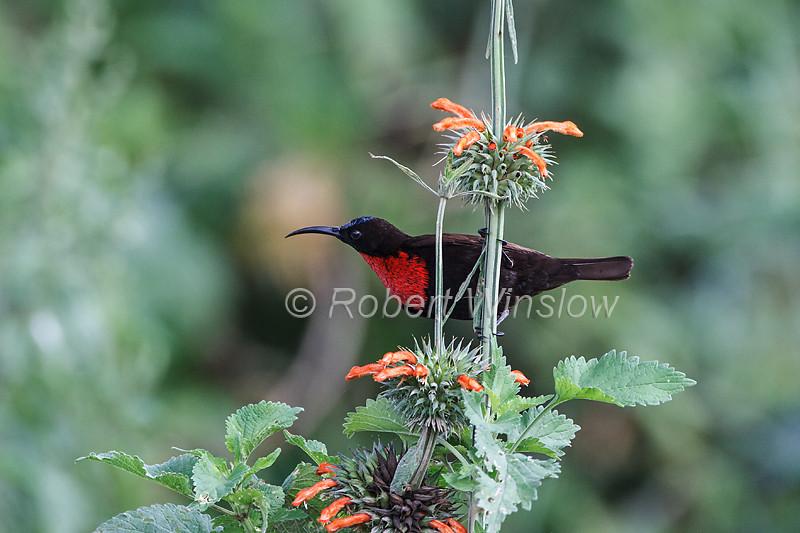 Scarlet-chested Sunbird, Chalcomitra senegalensis, Lake Nakuru National Park, Kenya, Africa