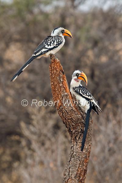 Two Eastern Yellow-billed Hornbills, Tockus flavirostris, Male on bottom, Samburu National Reserve, Kenya, Africa