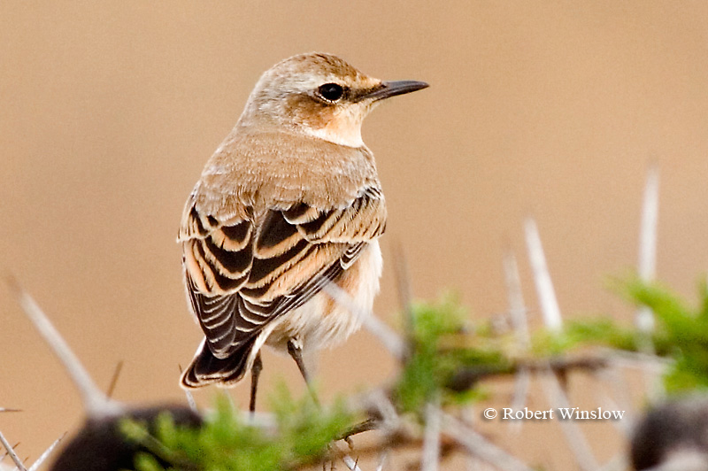 Wheatear, Isabelline Wheatear (Oenanthe isabellina), Nairobi National Park, Kenya, Africa, Passeriformes Order, Muscicapidae Family