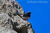 Schalow's Wheatear, Oenanthe schalowi, Lake Nakuru National Park, Kenya, Africa