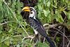 Hornbill, Eastern Yellow-billed Hornbill, Tockus flavirostris, Samburu National Reserve, Kenya, Africa