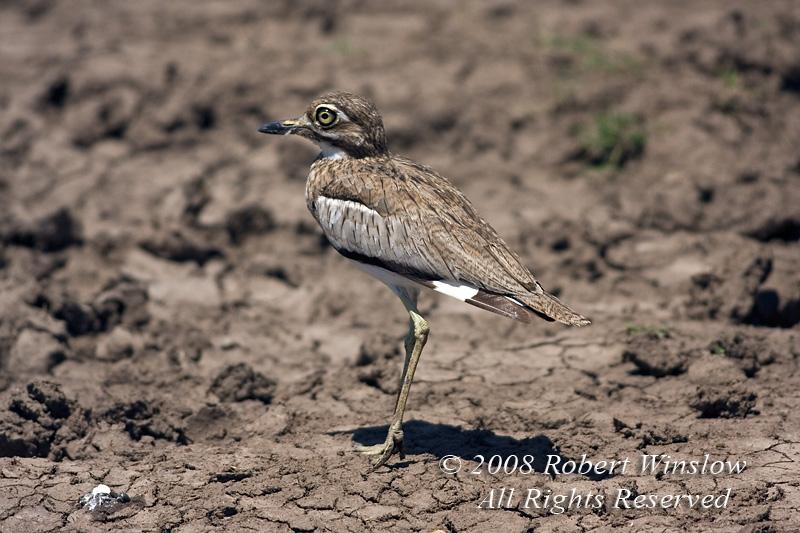 Thick-knee, Water Thick-knee, Burhinus v. vermiculatus, Masai Mara National Reserve, Kenya, Africa, Charadriiformes Order, Burhinidae Family