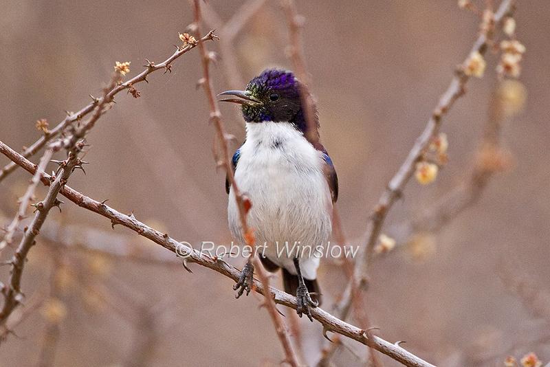 Eastern Violet-backed Sunbird, Anthreptes orientalis, Samburu National Reserve, Kenya, Africa