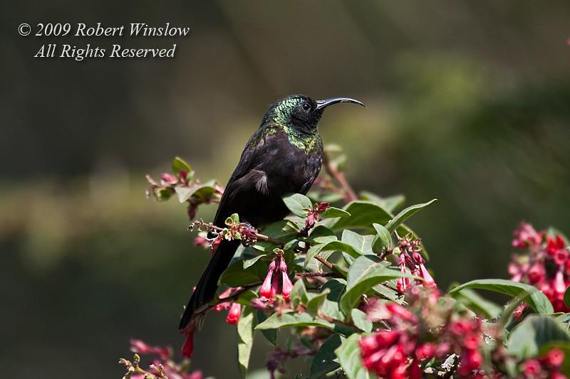 Bronze Sunbird, Nectarinia kilimensis, Rift Valley, Kenya, Africa