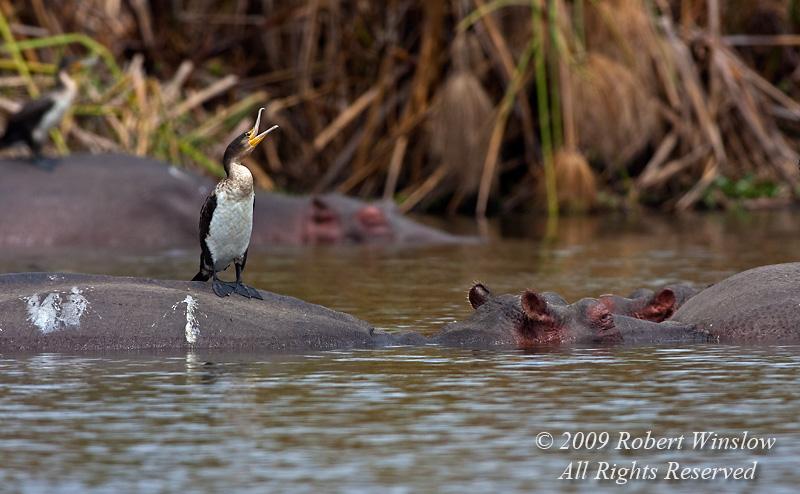 Great Cormorant, Phalacrocorax carbo lucidus, on the backs of Hippos, Lake Naivasha, Kenya, Africa
