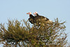 Vulture, White-headed Vulture, Trigonoceps occipitalis, Masai Mara National Reserve, Kenya, Africa, Accipitriformes Order, Accipitridae Family