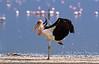 Stork, Marabou Stork, Leptoptilus crumeniferus, Lake Nakuru National Park, Kenya, Africa, Ciconiiformes Order, Ciconiidae Family