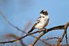 White-browed Sparrow-weaver, Plocepasser mahali, Sambur National Reserve, Kenya, Africa