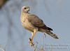 Goshawk, Immature Eastern Pale Chanting Goshawk, Melierax poliopterus, Amboseli National Park, Kenya, Africa, Falconiformes Order, Accipitridae Family