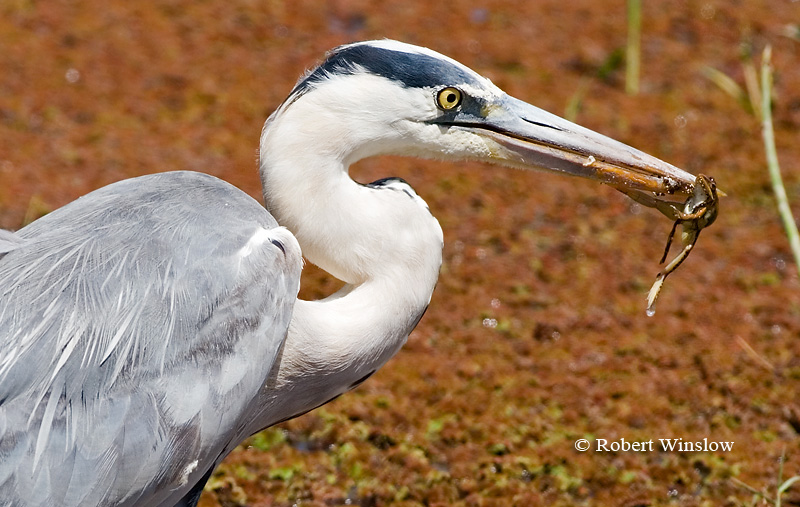 Heron, Grey Heron (Ardea c. cinerea) with a Frog in its Bill, Amboseli National Park, Kenya, Africa, Ciconiiformes Order, Ardeidae Family