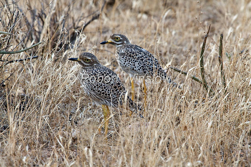 Male and Female, Spotted Thick-knee, Burhinus capensis, Samburu National Reserve, Kenya, Africa