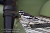 Wagtail, African Pied Wagtail, Motacilla aguimp vidua, Ol Pejeta Conservancy, Kenya, Africa, Passeriformes Order, Motacillidae Family