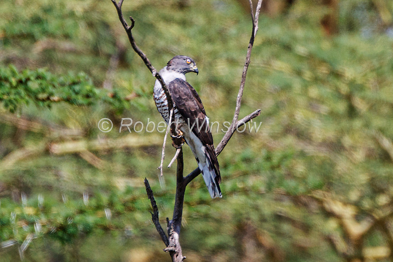 African Cuckoo-Hawk, Aviceda cuculoides, Lake Nakuru National Park, Kenya, Africa      <br /> Not a very good photo, but someone might find it useful for identification purposes.