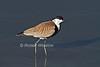 Spur-winged Lapwing or Spur-winged Plover, Vanellus spinosus, Lake Nakuru National Park, Kenya, Africa