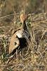 Bustard, Crested Bustard, Eupodotis ruficrista gindiana, Samburu National Reserve, Kenya, Africa, Gruiformes Order, Otididae Family
