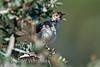 Tiny Cisticola, Cisticola nanus, Lake Nakuru National Park, Kenya, Africa