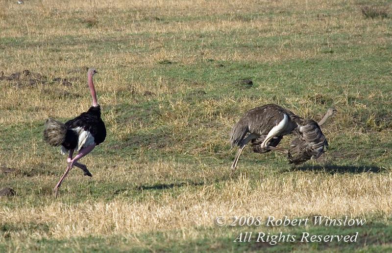 Ostrich, Struthio camelus massaicus, Male Chasing Female in Courtship Display,  Masai Mara National Reserve, Kenya, Africa, Struthioniformes Order, Struthionidae Family