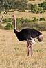 Ostrich (Struthio camelus massaicus), Breeding Male, Masai Mara National Reserve, Kenya, Africa, Struthioniformes Order, Struthionidae Family