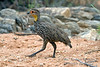Spurfowl, Yellow-necked Spurfowl, Francolinus leucoscepus, Samburu National Reserve, Kenya, Africa, Galliformes Order, Phasianidae Family