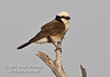 Northern White-crowned Shrike, Eurocephalus rueppelli, Samburu National Reserve, Kenya, Africa, Passeriformes Order, Laniidae Family