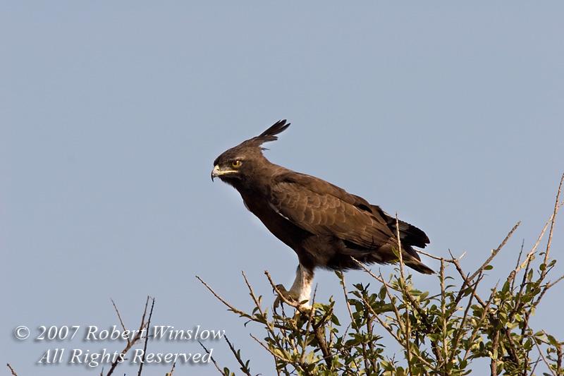 Eagle, Long-crested Eagle, Lophaetus occipitalis, Masai Mara National Reserve, Kenya, Africa, Accipitriformes Order; Accipitridae Family