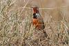 Rosy-breasted Longclaw, Rosy-throated Longclaw, Macronyx ameliae, Masai Mara National Reserve, Kenya, Africa