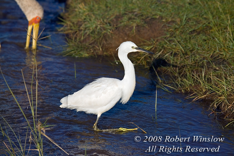 Egret, Little Egret, Egretta g. garzetta, Lake Nakuru National Park, Kenya, Africa, Ciconiiformes Order, Ardeidea Family