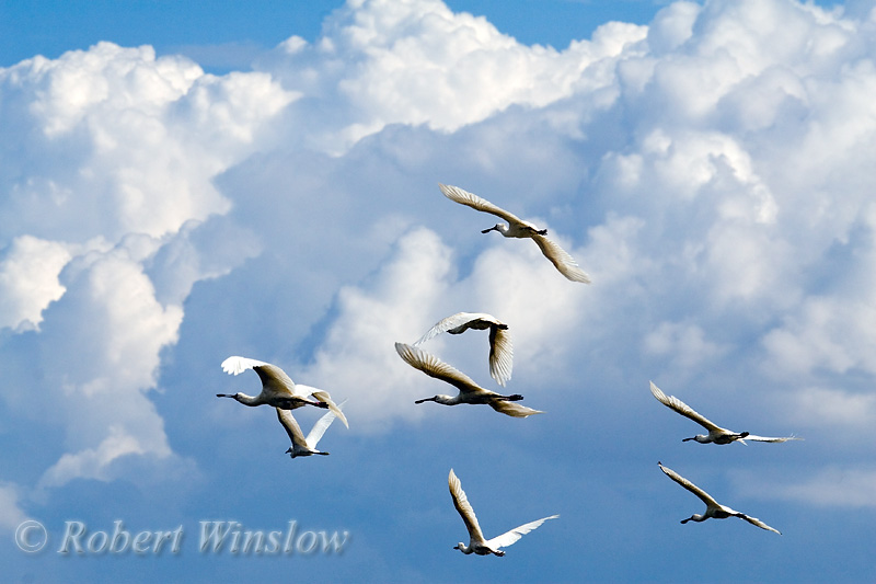 Spoonbills in Flight, Platalea alba, Lake Nakuru National Park, Kenya, Africa, Ciconiiformes Order, Threskiornithidae Family