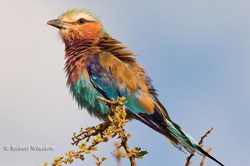 Roller, Lilac-breasted Roller, Coracias caudata, Samburu National Reserve, Kenya, Africa, Coraciiformes Order, Coraciidae Family