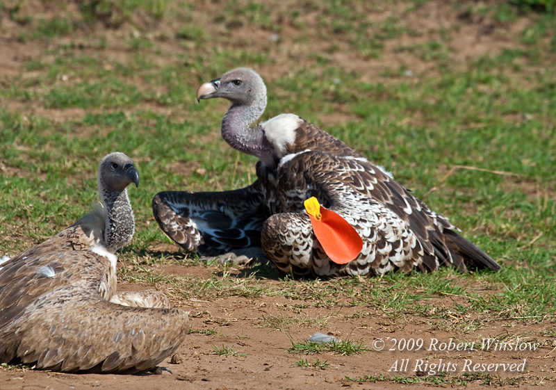 African White-backed Vulture on the left and Ruppell's Griffon Vulture with an id tag, Masai Mara National Reserve, Kenya, AFrica